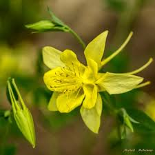 columbine flowers how to grow stunning spurred columbine flowers for butterflies to