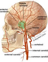 Base Of The Skull Anatomy Brain Anatomy Anatomy Of The Human Brain