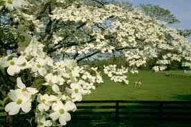 dogwood tree facts everything you need to