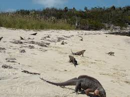 iguana island iguana island picture of exuma cays land and sea park great