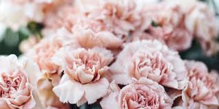 6 reasons to bring back the carnation why carnations should make