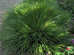 ornamental grasses evergreen uk unique hardscape design great