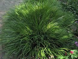 ornamental grasses evergreen uk unique hardscape design great