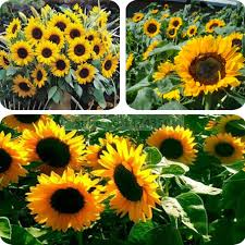 compare prices on ornamental sunflower seed shopping buy