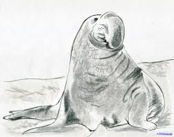 how to draw an elephant seal draw a realistic elephant seal step