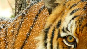 the eye of the tiger through a siberian tigers