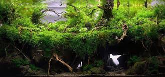 Aquascape Layout Amazonian Jungle Style Aquascaping Aquescaping Aquescaping