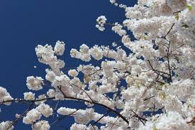 cherry blossom tree by blue5cheese on deviantart