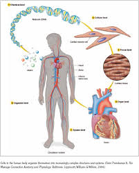 introduction to human body systems lessons tes teach