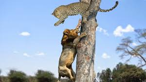 hunt leopard on the tree vs hyenas wildebeest zebra