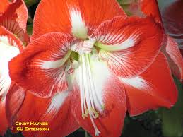 amaryllis flowers care of the amaryllis after flowering horticulture and home pest