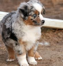 australian shepherd york miniature aussies for sale in texas wyoming texas