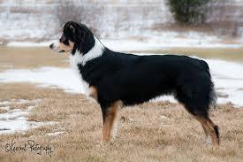 australian shepherd 3 months weight stacked dogs chaz hound dog forums