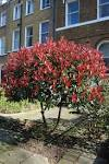 <b>Photinia</b> x fraseri &#39;Red Robin&#39;