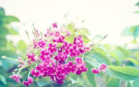 Flower Gardens Wallpapers - flowers dreams gardens magenta fuschia purple posies delicate