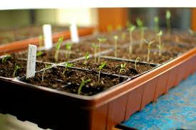 indoors garden how to start seeds indoors sunset magazine