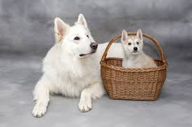 american eskimo dog or japanese spitz free images sweet puppy cute pet dogs animals vertebrate