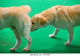 australian shepherd crufts 2016 crufts dog show 2016 stock photos u0026 crufts dog show 2016 stock