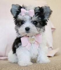 haircut for morkies here are some images that you can get idea about yorkie hairstyles