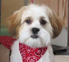 shichon haircuts a teddy bear haircut