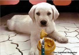 dog peanut butter dog eats peanut butter weiner owner upset