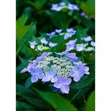 hydrangea flowers proven winners 1 gal let s starlight bigleaf hydrangea