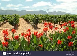 canna lillies stock photos u0026 canna lillies stock images alamy