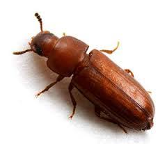 Biscuit Beetle In Bedroom Beetles Flying Insects Bird Control Garden Pests Crawling