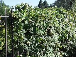 hops vine thetreefarm