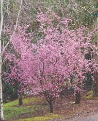 prunus blireana common name flowering plum 250mm pot dawsons