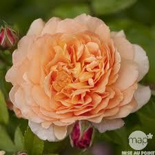 Achat Rosier Grimpant by Rosier Grimpant Crown Princess Margareta Auswinter Pot 6l