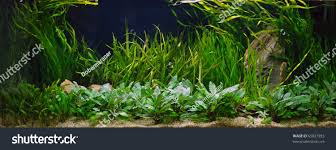 Planted Aquarium Aquascaping Plant Aquarium Aquascaping Stock Photo 65827993 Shutterstock