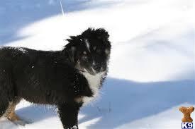 australian shepherd 11 months australian shepherd puppy for sale whisky 11 months old
