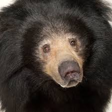 Are Bears Color Blind Sloth Bear National Geographic