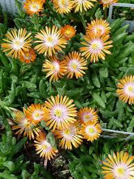 plante vivace soleil delosperma u0027perfect orange u0027 du soleil en pot u2013 paris côté jardin