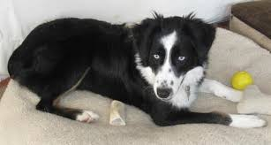 australian shepherd or border collie border collies in need of adoption in southern california