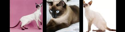 siamese cat tattoos what do they tattoos designs symbols