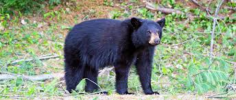 Connecticut wildlife images Student research project bears are wary in connecticut the png