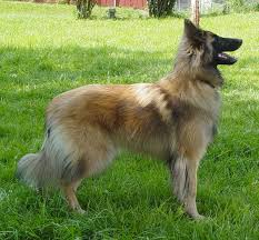 belgian shepherd breeds 303 best tervueren images on pinterest belgian shepherd dog