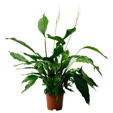 peace plant spathiphyllum potted plant ikea