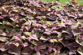 sweet potato vine adds unique colors mississippi state
