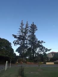norfolk island pine trees cleveland