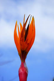 bird of paradise flower free photo bird of paradise flower flower free image on