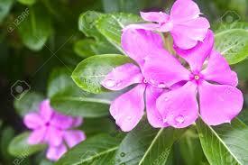 Vinca Flowers Purple Vinca Flowers Stock Photo Picture And Royalty Free Image