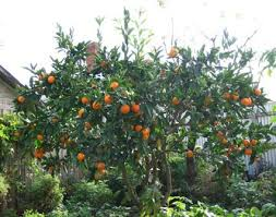 Good Backyard Trees by Best 25 Small Fruit Trees Ideas On Pinterest Fruit Garden