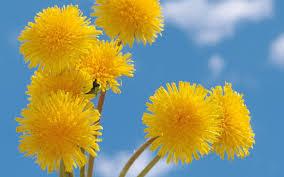 Yellow Pom Pom Flowers - poms tag wallpapers dandelions yellow plants poms bright sky