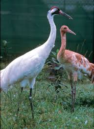 flock status whooping crane conservation association