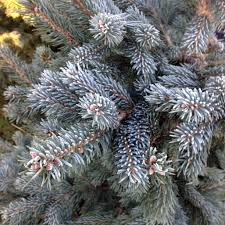 spruce christmas tree potted