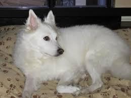 american eskimo dog growling seiko of tampa fl u0027s web page
