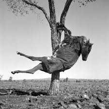 dried carcass of a cow suspended in a tree queensland 1952